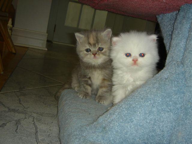 chat persan blanc yeux bleu mon regard sur le voyage et la nature. Black Bedroom Furniture Sets. Home Design Ideas