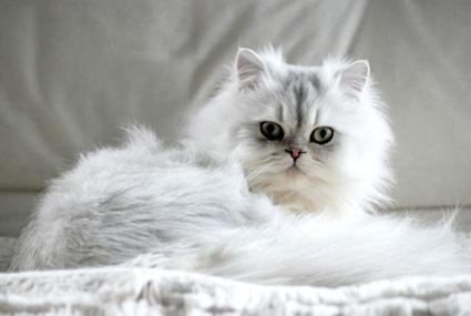 chat persan blanc mon regard sur le voyage et la nature. Black Bedroom Furniture Sets. Home Design Ideas