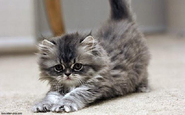 Chat persan gris mon regard sur le voyage et la nature - Enlever les puces sur un chaton ...