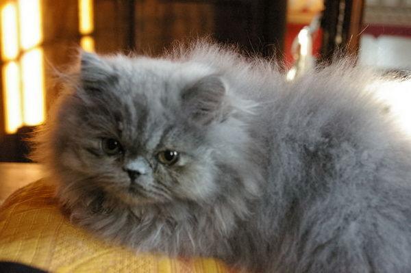 chat persan bleu a vendre mon regard sur le voyage et la nature. Black Bedroom Furniture Sets. Home Design Ideas