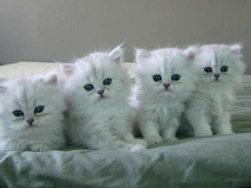 chat persan chinchilla blanc mon regard sur le voyage et la nature. Black Bedroom Furniture Sets. Home Design Ideas