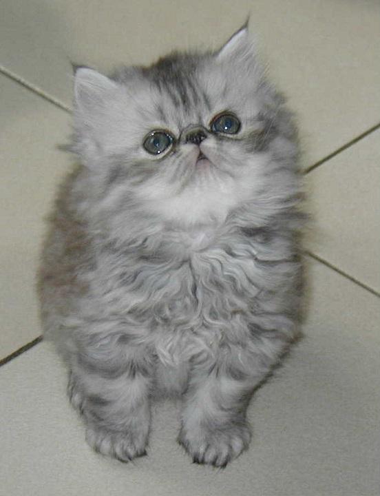chat persan gris bleu mon regard sur le voyage et la nature. Black Bedroom Furniture Sets. Home Design Ideas