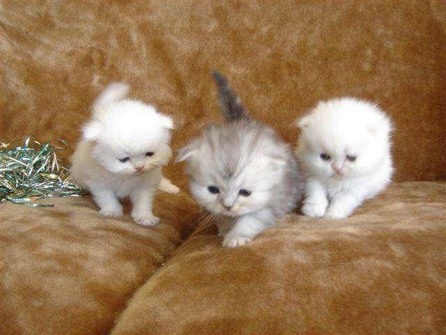 Chaton persan blanc a donner mon regard sur le voyage et la nature - Enlever les puces sur un chaton ...