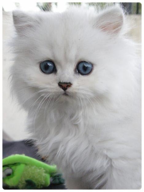 chinchilla chat 2018-5-5 un nouveau chinchilla a besoin d'au moins une semaine pour s'adapter à son nouvel environnement, voire plus si vous le juger nécessaire.