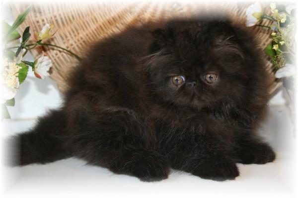 Vente de chaton persan