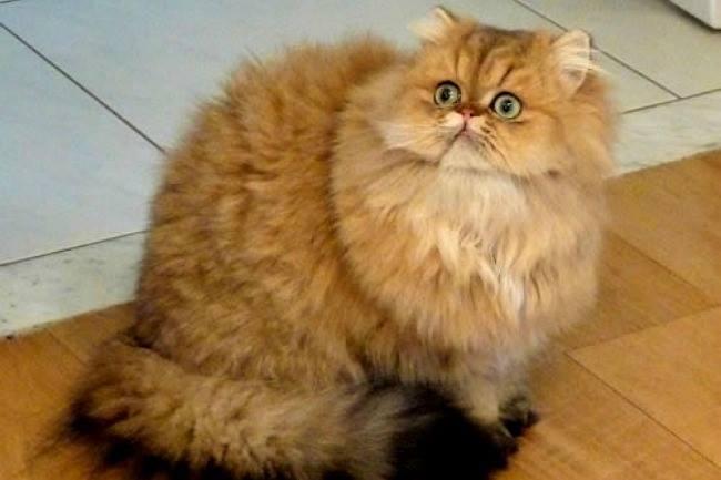 Cherche chat persan