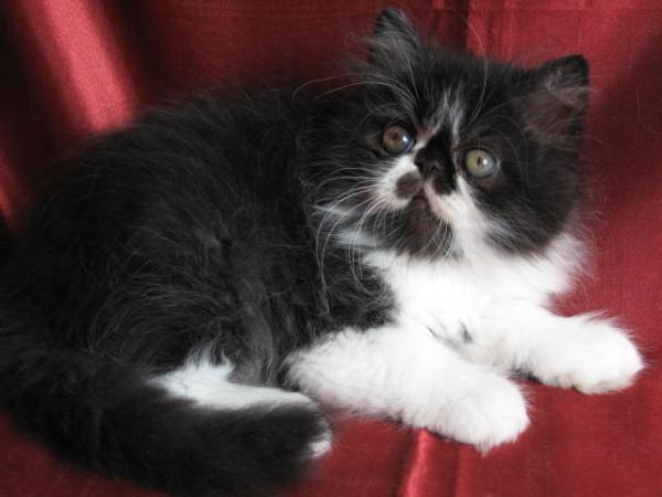 Chat persan noir et blanc