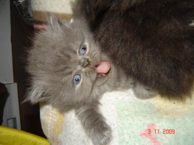 Prix chaton persan