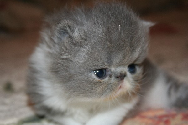 Chats persans bleus