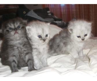Vente chat persan
