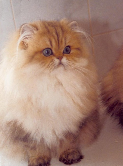 Elevage chat persan chinchilla