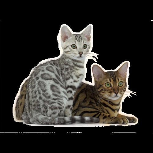 Vente chaton persan