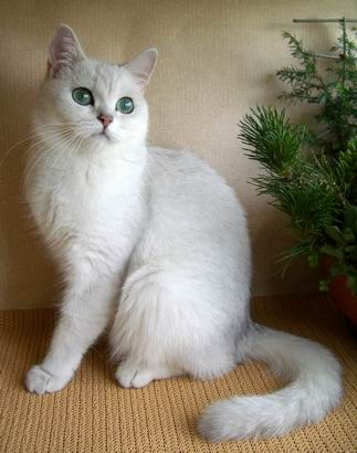 Silver shaded british shorthair