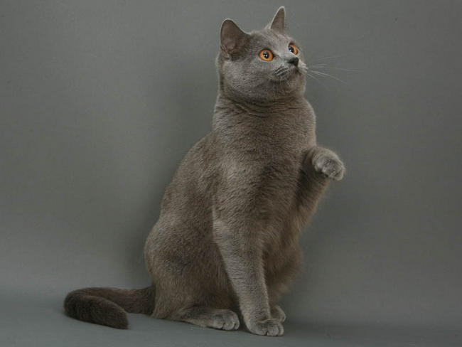 Chartreux image