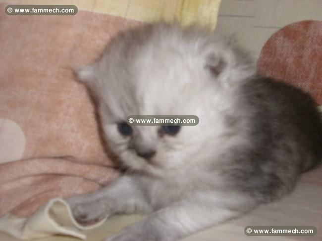 Vente chats persans