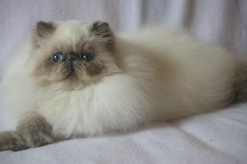 Elevage de chats persans