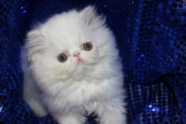 Cherche chaton persan
