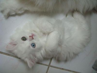 Vente de chat persan