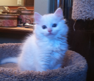 Blue eyed white ragdoll kittens for sale