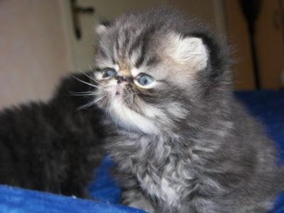 Chats persans à vendre