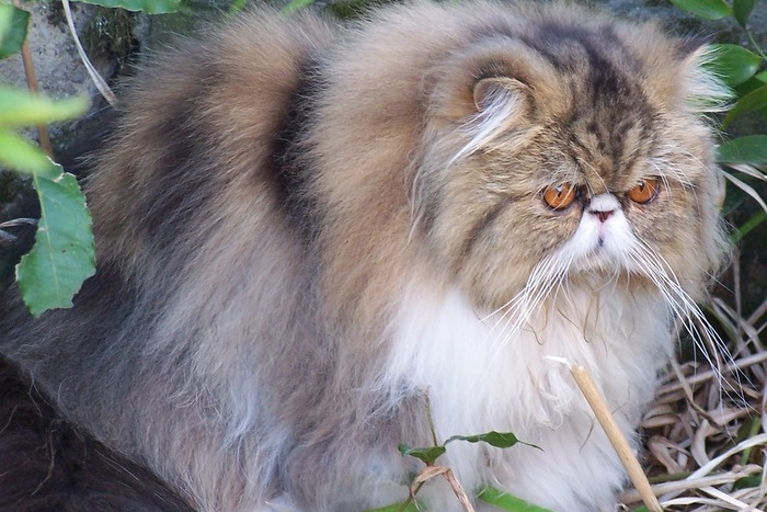Entretien chat persan