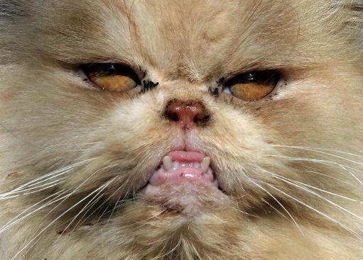 Les chat persan