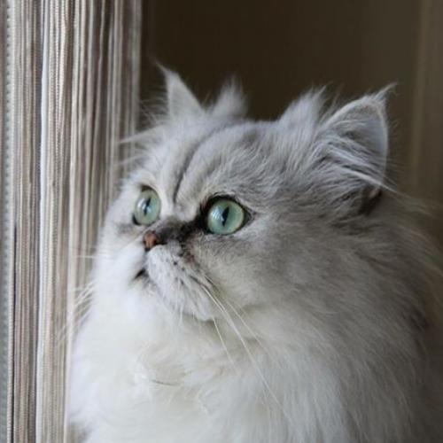 Saillie chat persan chinchilla