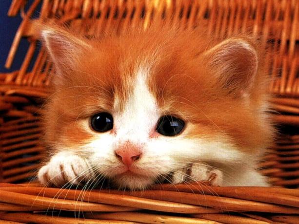 Combien coute un chat persan