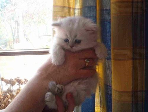 Le persan chinchilla
