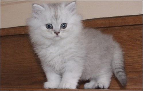 Chat angora persan