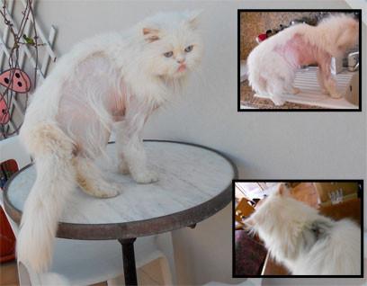 Tondre chat persan