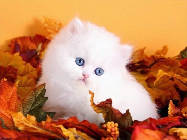 Les plus beaux chats persans