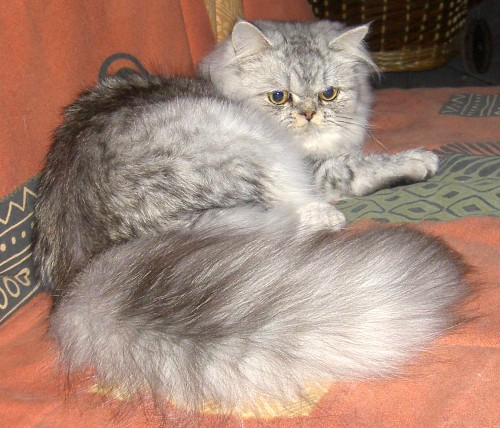 Chat persan silver tabby