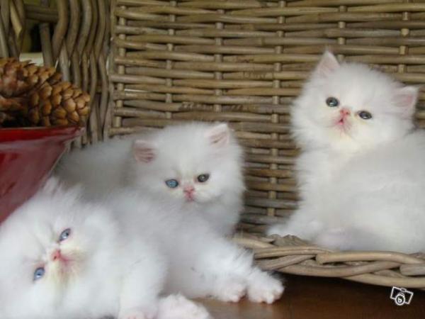 Photo chaton persan