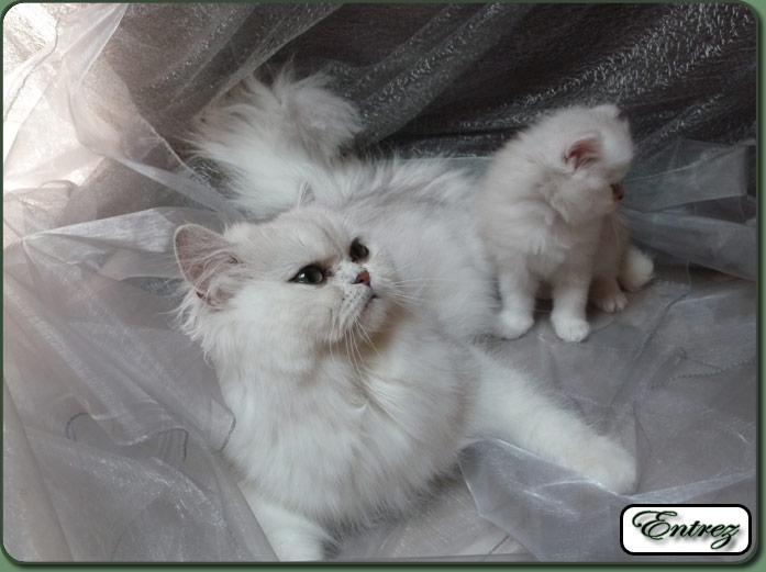 Chatterie de persans